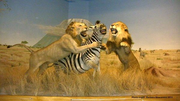 Display of wildlife survival in the vast area of Africa, Las Vegas Natural History Museum